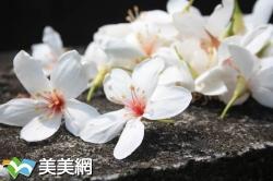 2018全台桐花祭-全台桐花祭賞花步道