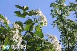 2017全台桐花祭-全台桐花祭賞花步道