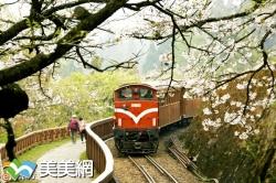 2019阿里山櫻花季(最詳細賞櫻資訊)與阿里山與螢共舞