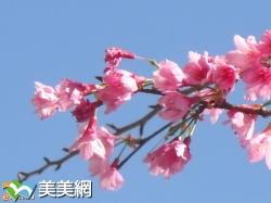 2017阿里山櫻花季(最詳細賞櫻資訊)與阿里山與螢共舞